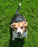 Small Beagle on green grass. A small Beagle dog looking up while on the green grass Stock Photo