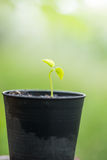 The  small bean sprouts Stock Photography