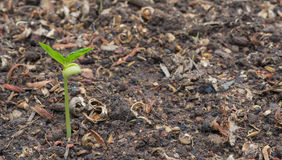 Small bean sprouts. Shoots of green beans, The soil with a small bean sprouts Royalty Free Stock Photography