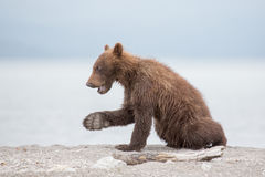 Small bear cub on the lake Stock Images