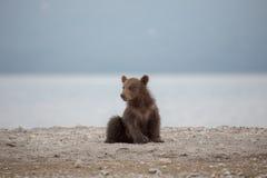 Small bear cub on the lake Stock Image