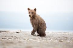 Small bear cub on the lake Royalty Free Stock Photo