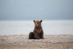 Small bear cub on the lake Stock Photos