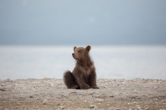 Small bear cub on the lake Royalty Free Stock Images