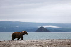 Small bear cub on the lake Stock Photography