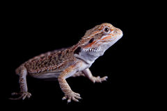 Small bearded dragon isolated on black Stock Images