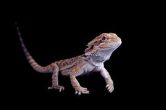 Small bearded dragon isolated on black Royalty Free Stock Photo