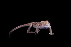 Small bearded dragon isolated on black Stock Image