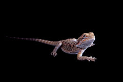 Small bearded dragon isolated on black Royalty Free Stock Photography