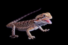 Small bearded dragon isolated on black. Small bearded dragon, pogona vitticeps, isolated on black background Stock Photo