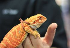 Small Bearded Dragon with a leash. Small Orange Bearded Dragon lizard on display at a reptile show in California stock image
