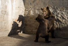 Small bears fighting Royalty Free Stock Images