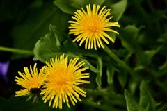 Bright yellow dandelion flowers plants. Small but beautiful dandelion flowers that will amazingly transform into  a different kind of flowers royalty free stock photography