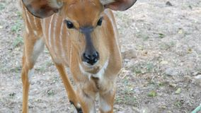 Small beautiful deer with big black eyes in the zoo. A small beautiful deer with big black eyes in the zoo stock footage