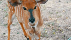 Small beautiful deer with big black eyes in the zoo. A small beautiful deer with big black eyes in the zoo stock video