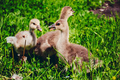 Small beautiful geese Royalty Free Stock Images