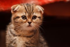 Small and beautiful tabby kitten indoor Stock Photography