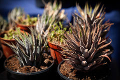 Small beautiful Haworthia succulent potted plants sale. Houseplants close-up in a shop window in the dark of night stock photography