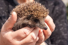 Small beautiful hedgehog in hands Stock Photography