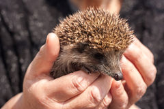 Small beautiful hedgehog in hands Stock Images