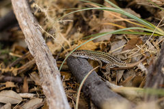 Small beautiful lizard in natural habitat with blurred background. stock images