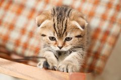 Small and beautiful tabby kitten indoor Royalty Free Stock Photo