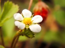 A small beautiful tender defenseless flower of strawberry grows in natural conditions on a sunny day. Useful and tasty berry royalty free stock images