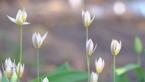 A small beautiful Tulip called Little star. Tulipa humilis stock footage