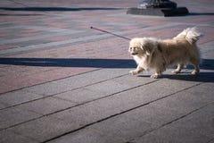 A small beautiful white shih-tzu runs along the sidewalk tile of the city. Horizontal frame stock photography
