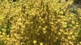 Small beautiful yellow Bush with flowers. Closeup stock footage