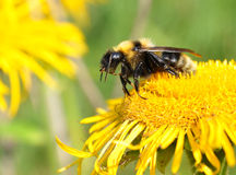 Small bee Royalty Free Stock Photography