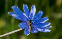 A small bee collects pollen from a blue flower that grows in summer on the hills stock photos