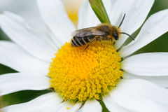 Small bee on a daisy blossom Stock Photography