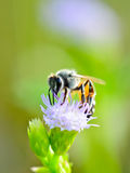 Small bee eating nectar of Goat Weed. Royalty Free Stock Photography