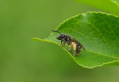 Small bee having short rest Royalty Free Stock Photos