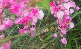 A small bee in a pink sea. A small bee hides with its sharp buzz among thousands of rose petals royalty free stock photography