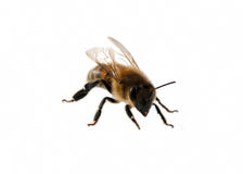 Small bee Royalty Free Stock Photo