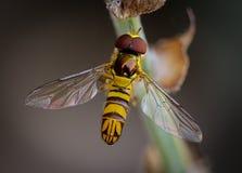 Small Bee Royalty Free Stock Photo
