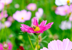 Small bee pollen cosmos flower. Close up royalty free stock photo