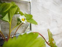 Small bee pollinating a flower from a hanging potted strawberry stock image