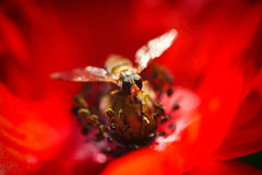 Small bee on the Red Poppy and Bud - field flower Royalty Free Stock Photo