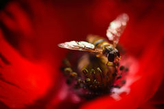 Small bee on the Red Poppy and Bud - field flower Royalty Free Stock Photography