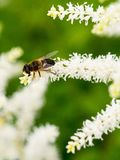 Small bee sits on the white sweet-smelling flowers, collecting pollen Royalty Free Stock Photo