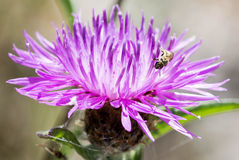 Small Bee in Swamp Thistle. Royalty Free Stock Photo