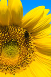 Small bee is working on refined sunflower Stock Photo