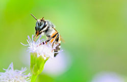 Small bees. Clean legs and mouth on Goat Weed. Thailand Stock Photos