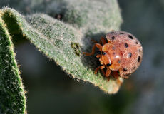 Small Beetle Royalty Free Stock Photography