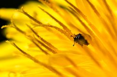 Tiny Beetle on dandelion royalty free stock photos
