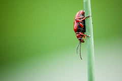 Small beetle Crioceris merdigera Stock Photography