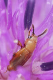 Small beetle feeding on flower Royalty Free Stock Images